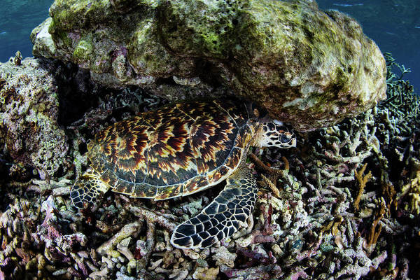 A Young Hawksbill Sea Turtle Resting Art Print