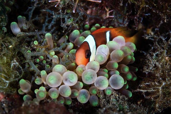 Amphiprion Melanopus Photograph - A Young Red And Black Anemonefish by Ethan Daniels