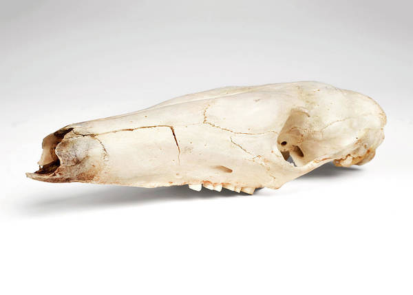 Preservation Photograph - Aardvark Skull by Ucl, Grant Museum Of Zoology