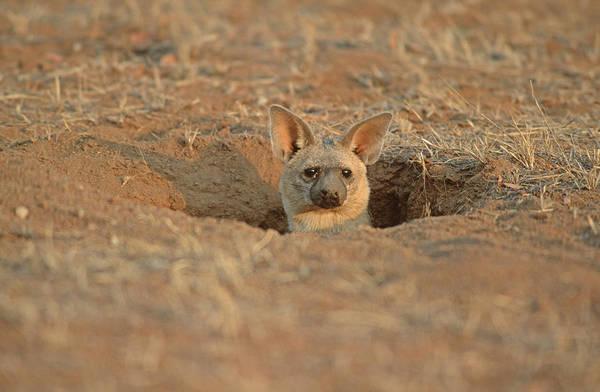 Aardwolf At Den. Damaraland District, Namibia Art Print by Daryl Balfour