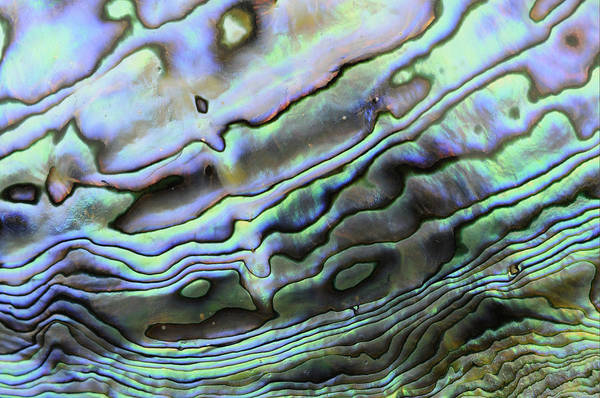 Marine Layer Photograph - Abalone Shell Rainbow by Malcolm Schuyl