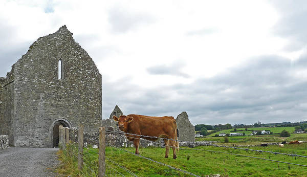 Photograph - Abbey Cow by Fran Riley