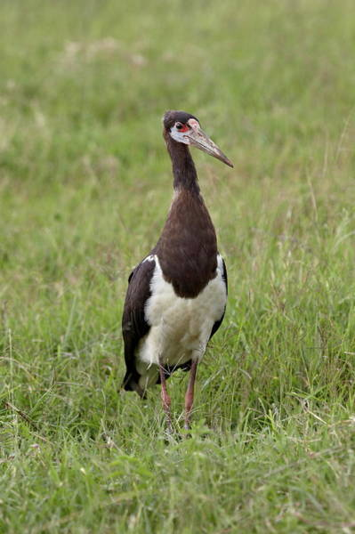 James Brown Photograph - Abdims Stork Ciconia Abdimii by James Hager / Robertharding