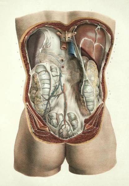 Abdominal Anatomy Art Print