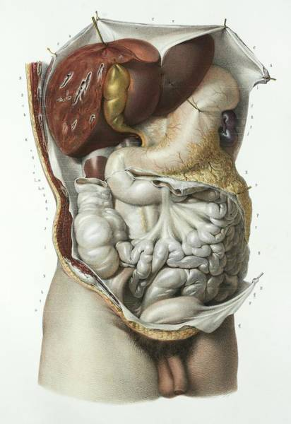 Gi Photograph - Abdominal Organs by Science Photo Library