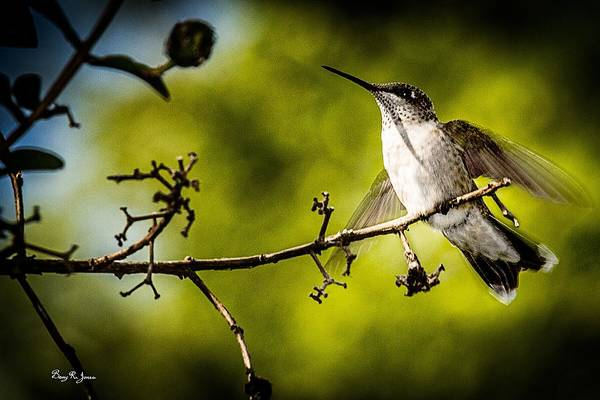 Photograph - Hummingbird - About To Fly by Barry Jones