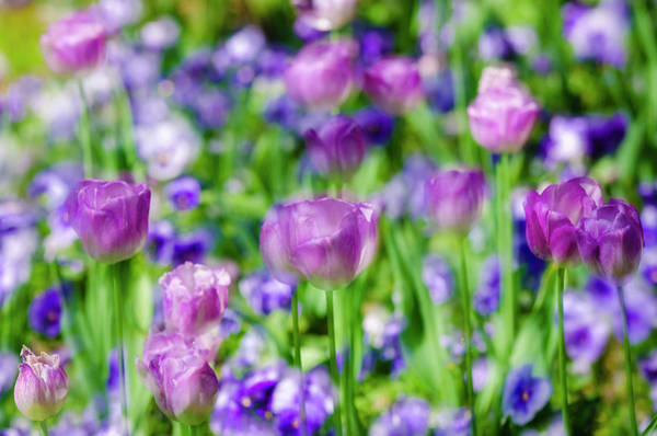 Giverny Photograph - Abstract Tulips, Giverny, France by Russ Bishop