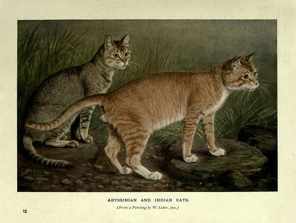 Manx Cat Wall Art - Painting - Abyssinian And Indian Cats by Philip Ralley
