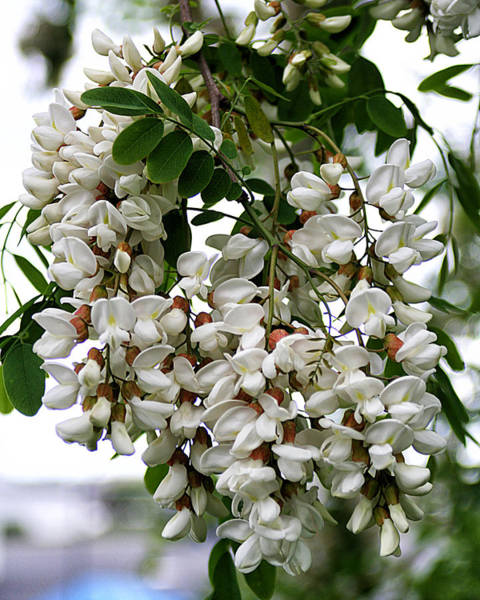 Photograph - Acacia Tree Flowers by William Selander