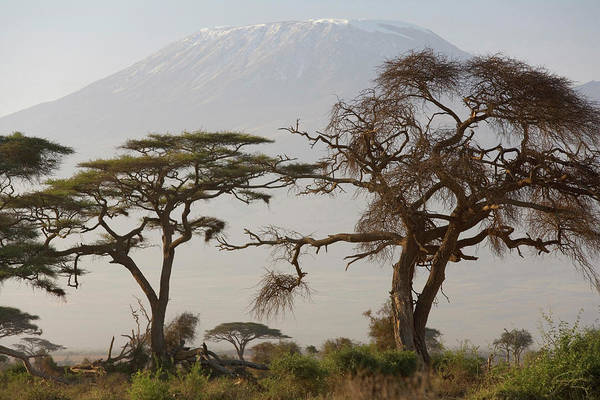 Amboseli Wall Art - Photograph - Acacia Tree, Mt Kilimanjaro, Amboseli by Peter Adams
