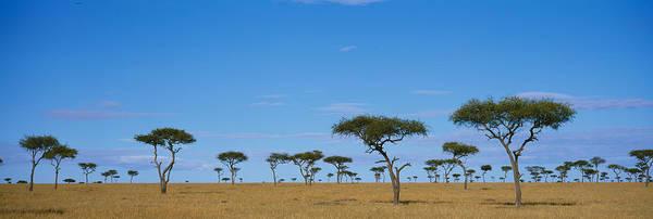 Maasai Photograph - Acacia Trees On A Landscape, Maasai by Panoramic Images