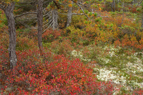 Photograph - Acadia Wonderland Trail by Chris Scroggins