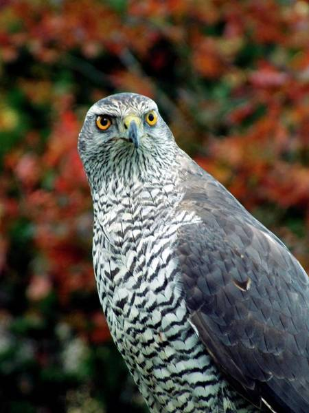 Wall Art - Photograph - Accipiter Gentilis (goshawk) by Ian Gowland/science Photo Library
