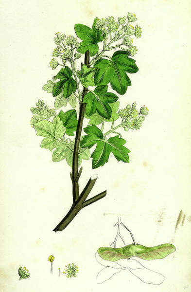Maple Drawing - Acer Campestre Common Maple by English School