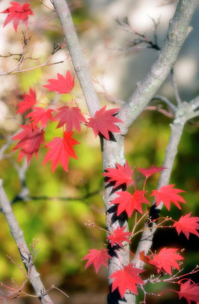 Acer Shirasawanum Aureum Photograph By Maria Mosolovascience