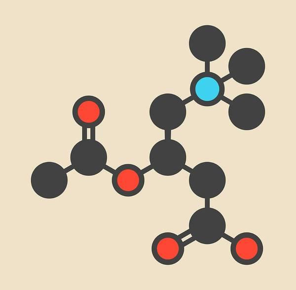 Skeletal Wall Art - Photograph - Acetylcarnitine Molecule by Molekuul