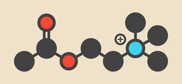 Neurotransmitter Wall Art - Photograph - Acetylchloline Neurotransmitter Molecule by Molekuul