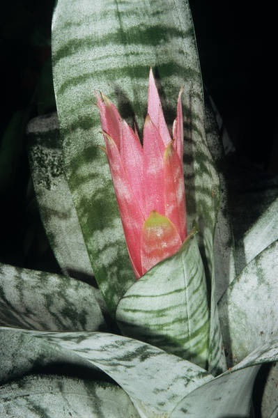 Bromeliad Photograph - Achemea 'primera' Flower by M F Merlet/science Photo Library