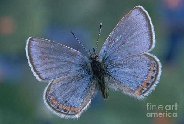 Photograph - Acmon Blue Butterfly Plebejus Acmon by Kjell B Sandved
