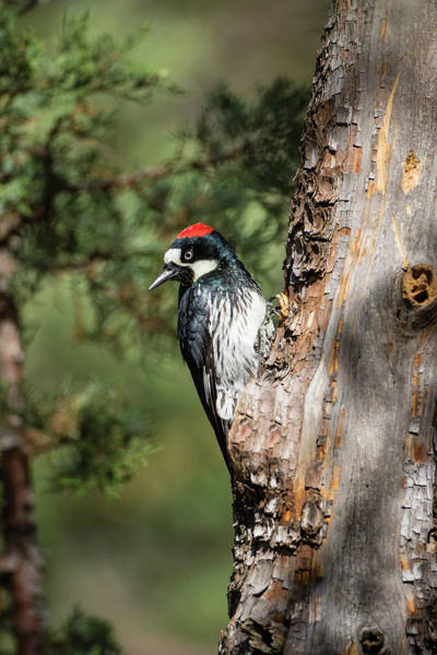 Juniper Photograph - Acorn Woodpecker (melanerpes by Larry Ditto