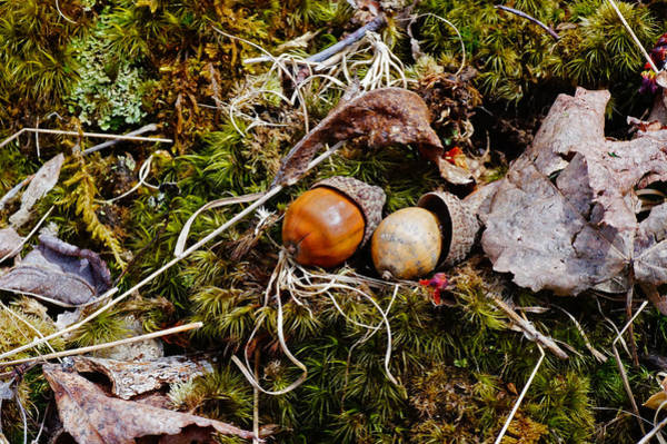 Photograph - Two Acorns by Mike Murdock
