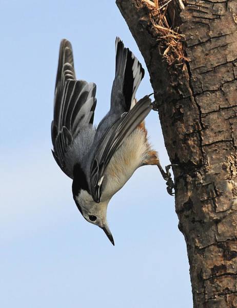 Photograph - Acrobat Of The Bird World by Lara Ellis