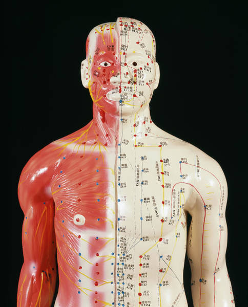 Traditional Chinese Medicine Wall Art - Photograph - Acupuncture Model by Mark Thomas/science Photo Library