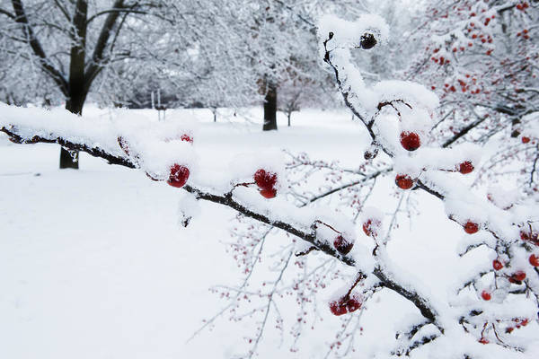 Photograph - Ada Park Berries In Winter by Evie Carrier