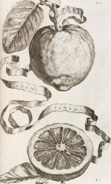 Apple Drawing - Adam's Apple by Cornelis Bloemaert