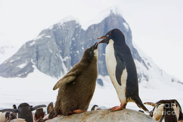 Wall Art - Photograph - Adelie Penguin Chick Begging For Food by Yva Momatiuk John Eastcott