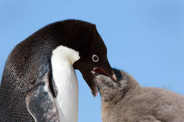 Down Feather Photograph - Adelie Penguin Feeding Chick by William Ervin/science Photo Library