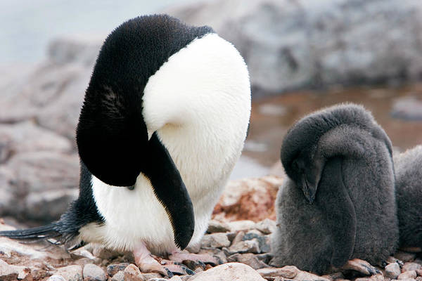Down Feather Photograph - Adelie Penguin With Chick by William Ervin/science Photo Library
