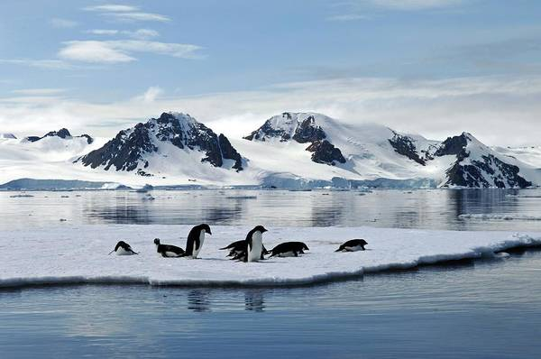 Antarctic Wall Art - Photograph - Adelie Penguins by British Antarctic Survey/science Photo Library