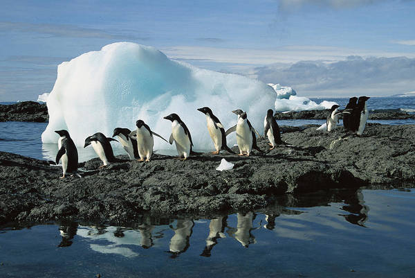 Photograph - Adelie Penguins Coming Ashore Antarctica by Colin Monteath
