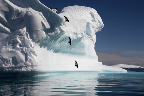 Free Dive Wall Art - Photograph - Adelie Penguins Diving Into The Sea by Steve Allen/science Photo Library