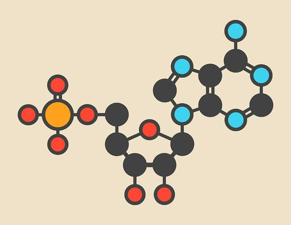 Adenosine Triphosphate Wall Art - Photograph - Adenosine Monophosphate Molecule by Molekuul