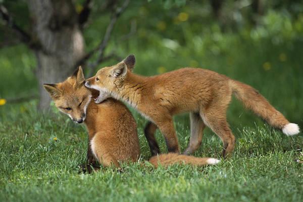 Elmendorf Photograph - Adolescent Red Fox Play Together by Doug Lindstrand