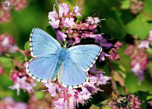 Knot Photograph - Adonis Blue Butterfly by John Devries/science Photo Library