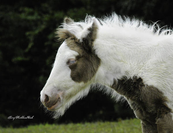 Photograph - Adorable Buckskin Colt by Terry Kirkland Cook