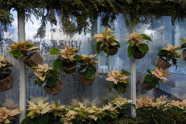 Photograph - Adorable Miniature Poinsettias Window Display by Georgia Mizuleva