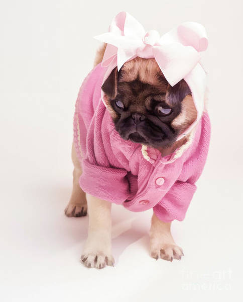 Pug Photograph - Adorable Pug Puppy In Pink Bow And Sweater by Edward Fielding