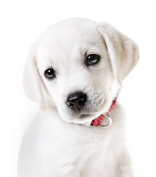 Labs Photograph - Adorable Yellow Lab Puppy by Diane Diederich