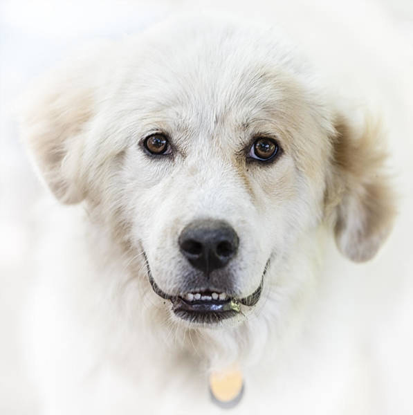 Great Pyrenees Photograph - Adoration by Kate Houlne