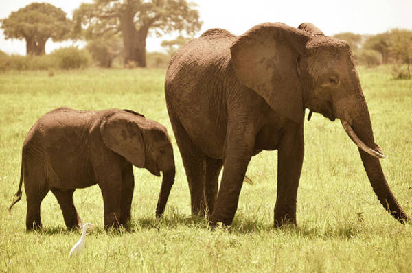 Grazing Photograph - Adult And Baby Elephant Grazing At by Volanthevist