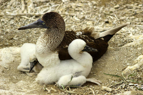 Puerto Plata Photograph - Adult Blue Footed Boobie And Chicks by Robert Hamm