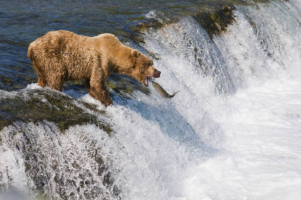 Wall Art - Photograph - Adult Brown Bear Fishing For Salmon by Kenneth Whitten