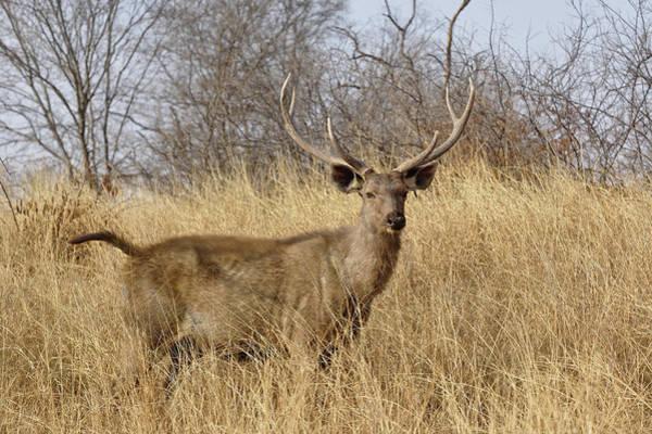 Wall Art - Photograph - Adult Male, Sambar Deer, Ranthambore by Adam Jones