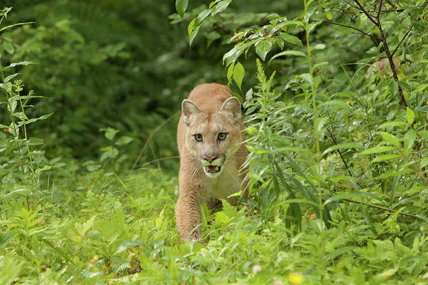 Puma Photograph - Adult Mountain Lion, Puma Concolor by Adam Jones