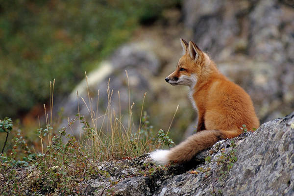 Wall Art - Photograph - Adult Red Fox Sitting On The Tundra by Steven J. Kazlowski / GHG
