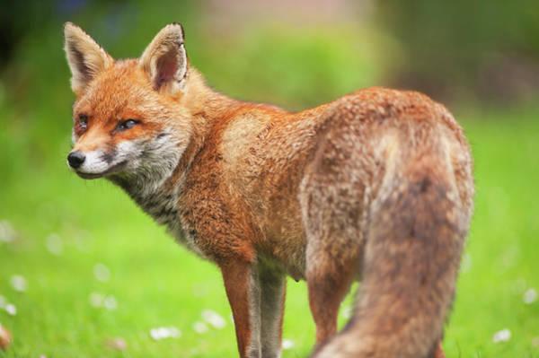 Theme Park Photograph - Adult Red Fox Vixen In A London Garden by Malcolm Park